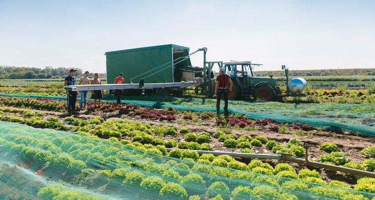 Erntehelfer Gemüseanbau