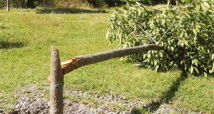 Freiheitsallee Baum