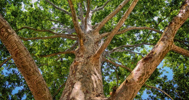 Bäume Ahornrußrinden-Pilz